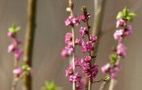 Žydi nuodingas mūsų miškų augalas – paprastasis žalčialunkis