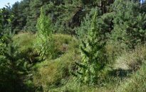 В лесу под Друскининкай обнаружили плантацию конопли