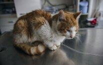 Norinčiam pasveikti katinėliui Amonui reikia pagalbos