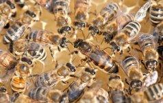 Vabzdžių įkandimai gali būti pavojingi gyvybei: kaip apsisaugoti?