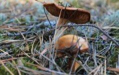 Специалисты советуют, какие грибы не стоит собирать