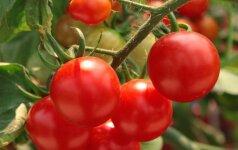 Помидоры – вкусная защита от рака кожи