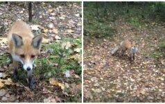 Nufilmavo: nustebino drąsi lapė Labanoro girioje