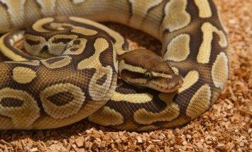 pitonas, gyvatė