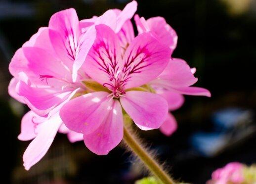 Žolininkė Adelė Karaliūnaitė: šie augalai turėtų būti kiekvienuose namuose