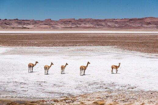 Vikunijos gyvena arčiau vandens telkinių ir ten, kur galima rasti žolės, nes būtent žolėje ilgiau užsilieka tirpstančio sniego drėgmė