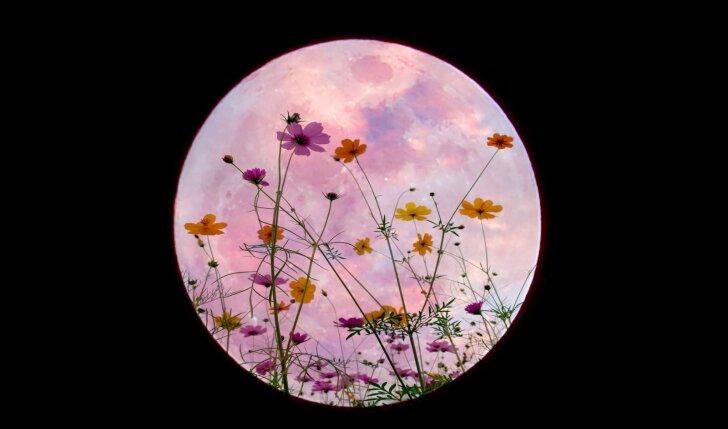 Rytoj pasirodysiantis nuostabusis gėlių mėnulis darys įtaką 3 Zodiako ženklams