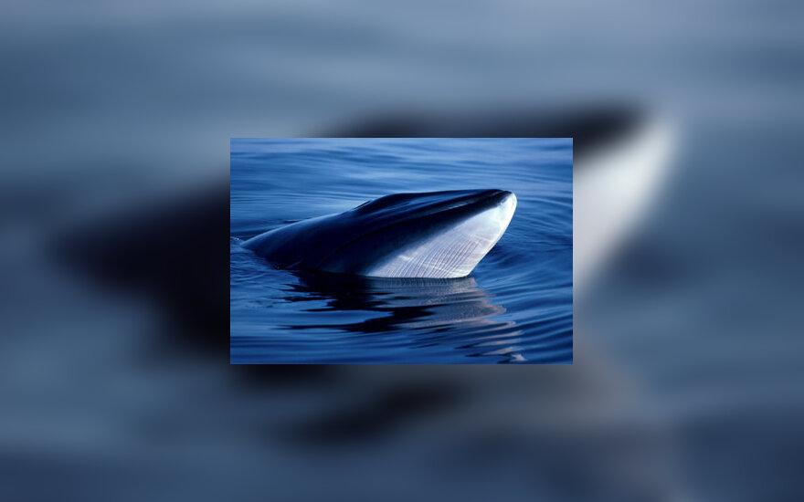 Minkės banginis prie Škotijos krantų