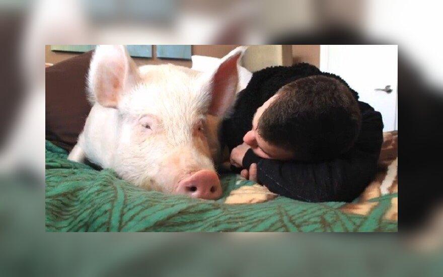 Милюс пугает африканской чумой свиней