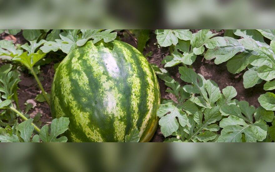 Лукашенко требует выращивать на Полесье дыни и арбузы
