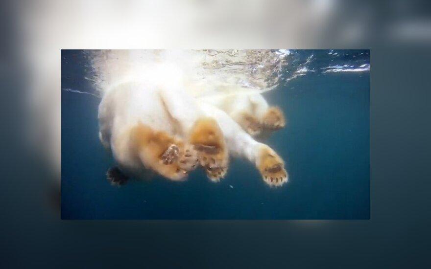 Plaukiantys baltieji lokiai