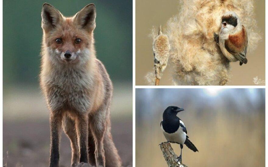 Smalsus lapės žvilgsnis ir paukščių gyvenimo akimirkos