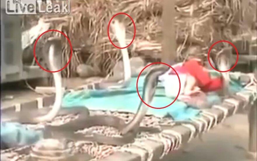 Cztery kobry bronią śpiącego dziecka