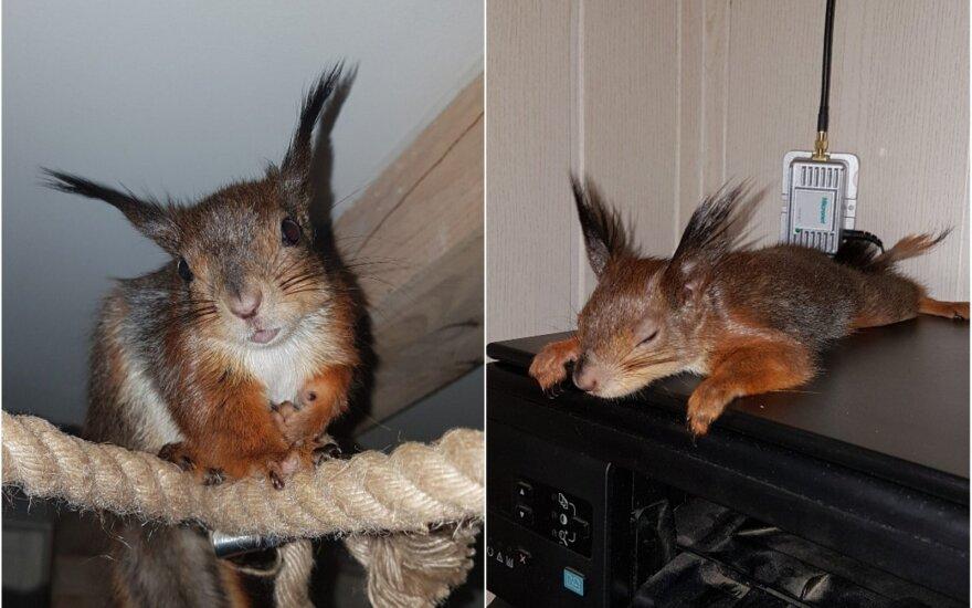 Dijanos auginama voverytė