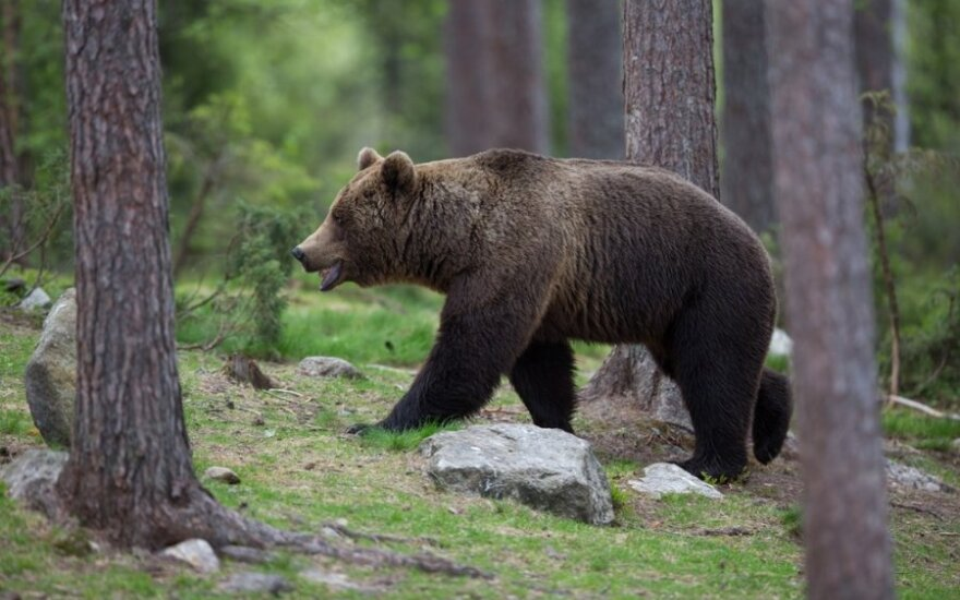 Норвежцев попросили собирать медвежьи фекалии