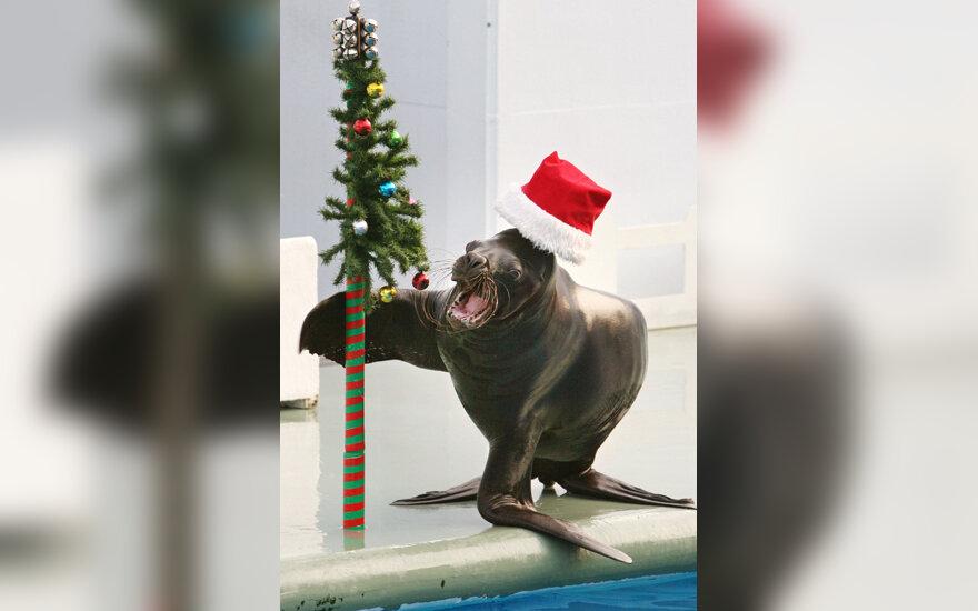 Jūrų liūtas per kalėdinį pasirodymą