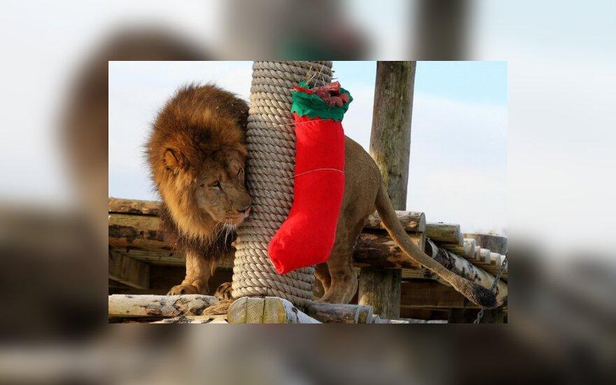 Лев в ожидании рождественских подарков
