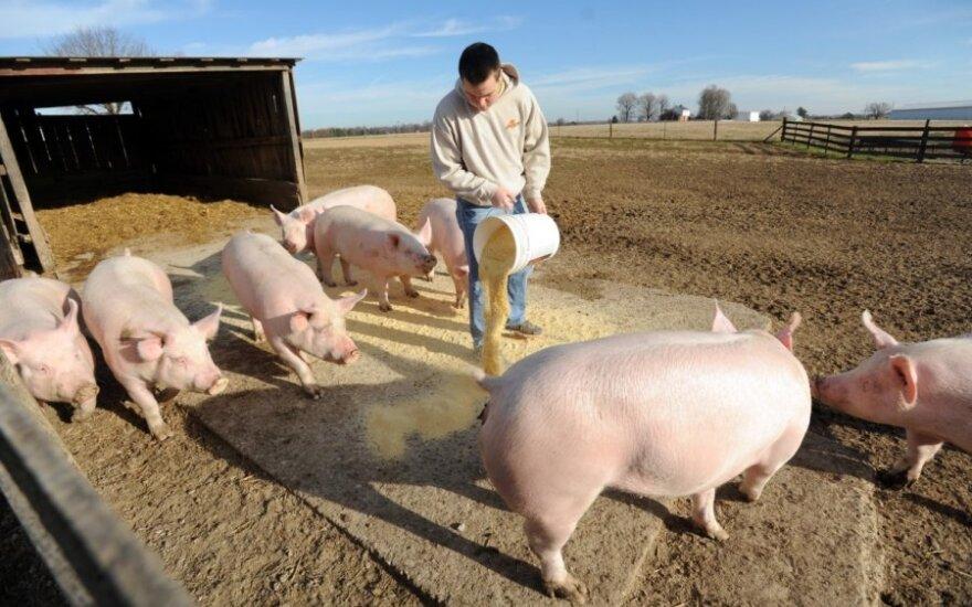 Рядом с Литвой - новые очаги африканской чумы свиней