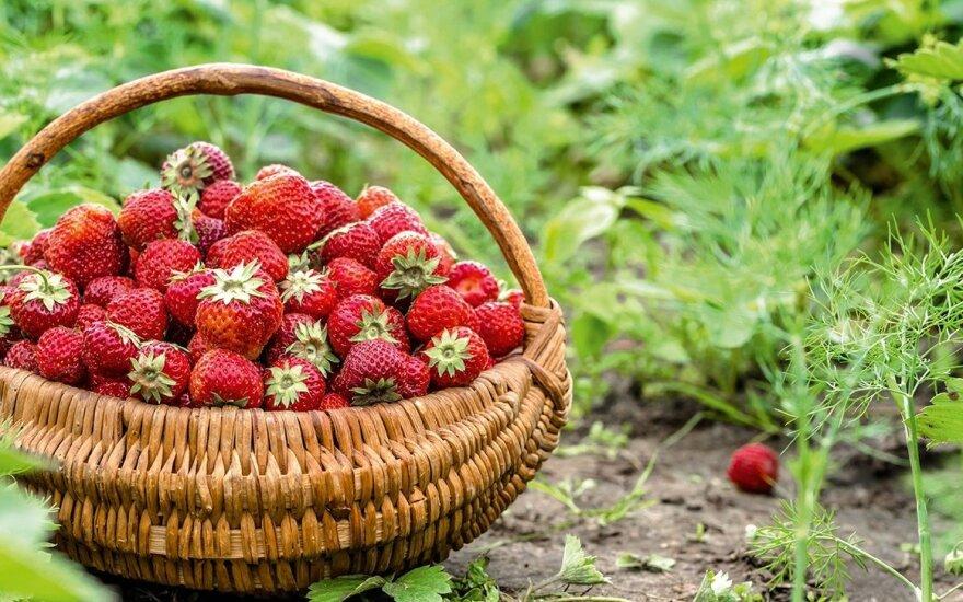 Начинается сезон литовской клубники: какими будут цены