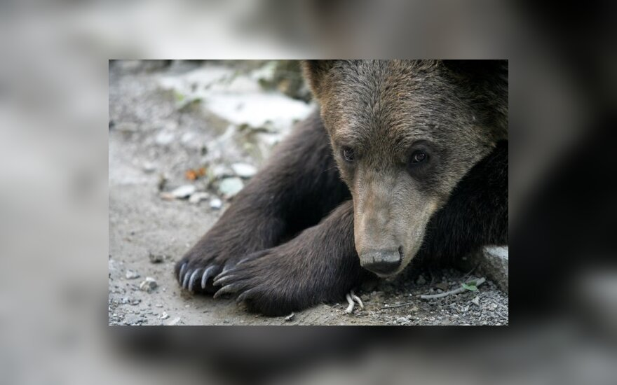 В Лабанорской пуще замечены следы медведя