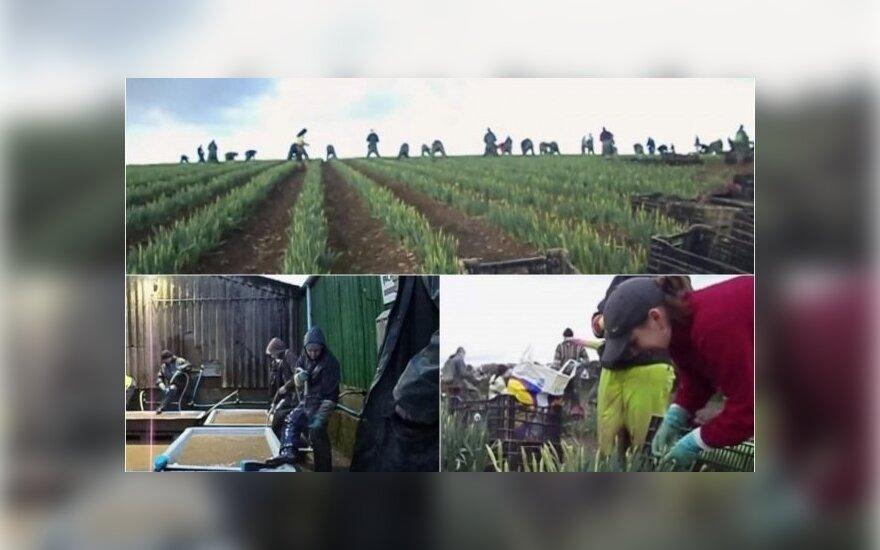 Vilniečio eksperimentas: 2 mėnesiai ūkyje su emigrantas lietuviais