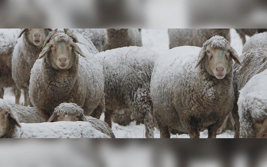 В Алитусском районе пожарные спасли от огня отару овец