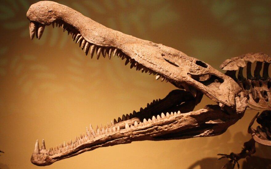 В Вильнюсе можно будет увидеть фоссилию аллигатороида, которой 15 млн. лет