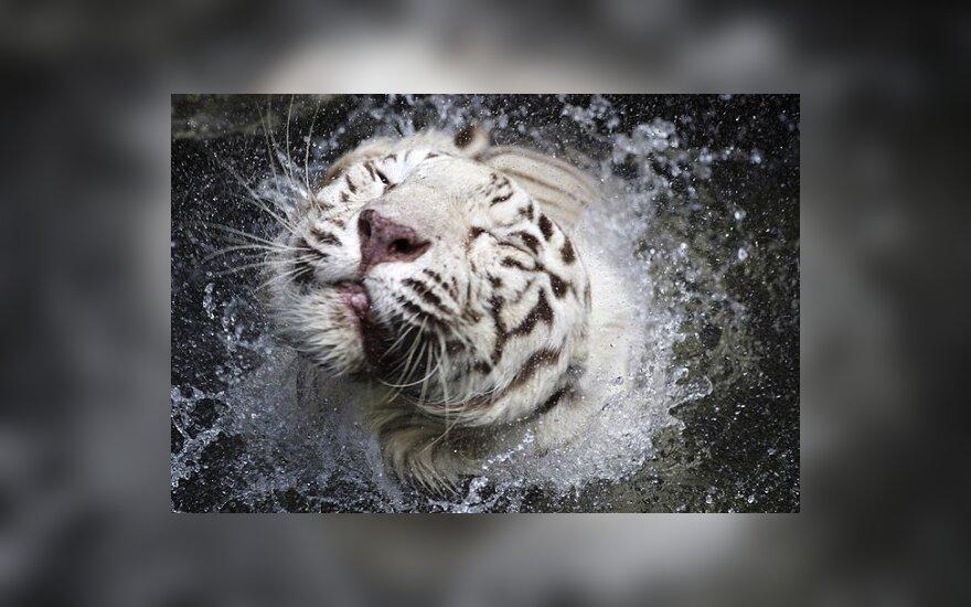 РФ постарается сохранить амурских тигров