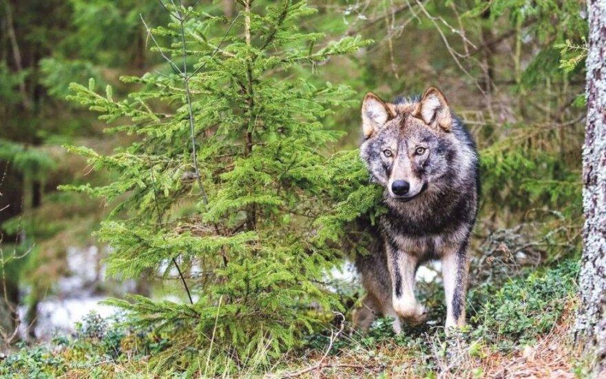 Vilkai puola gyvulius net prie namų (šilokarčema.lt nuotr.)