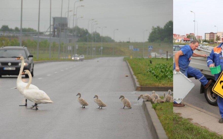 Klaipėdos vairuotojai perspėjami apie gulbes kelyje. Vakarų ekspreso nuotr.