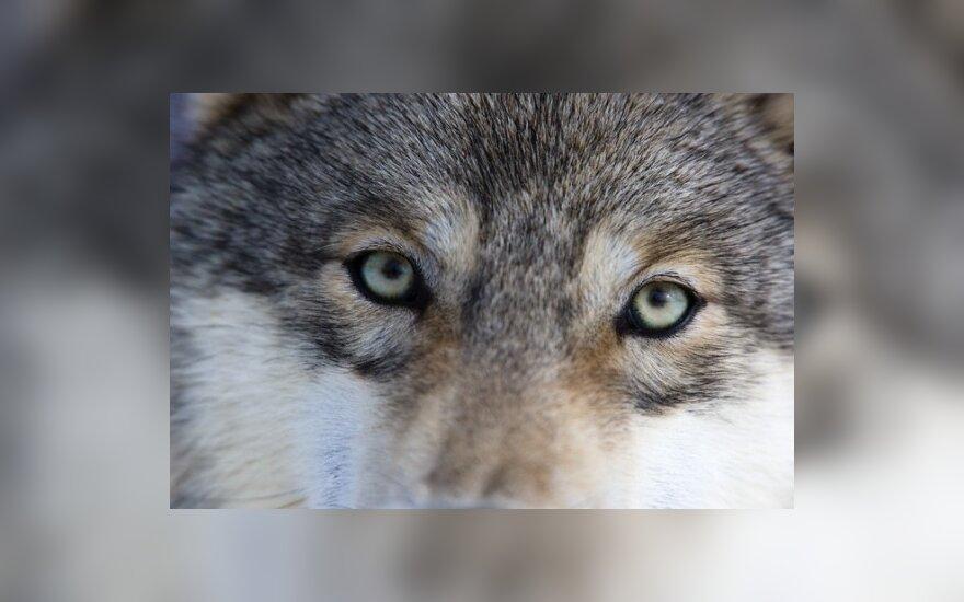 Члены экспедиции пытаются реабилитировать волков