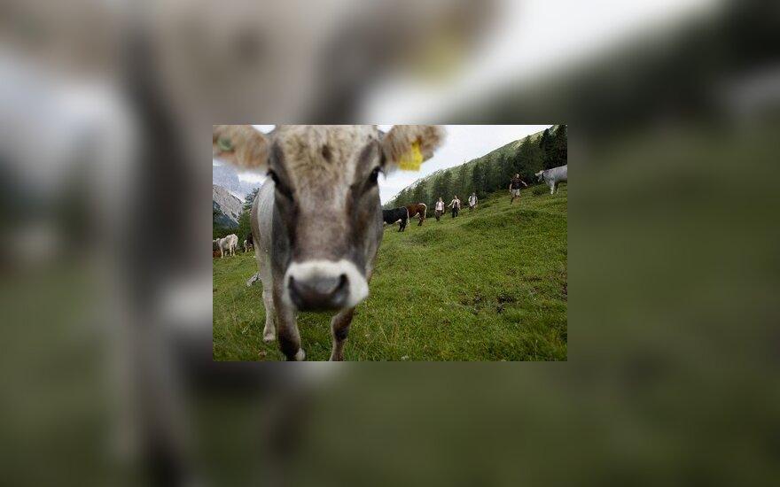Литовские легкоатлеты соревновались за корову