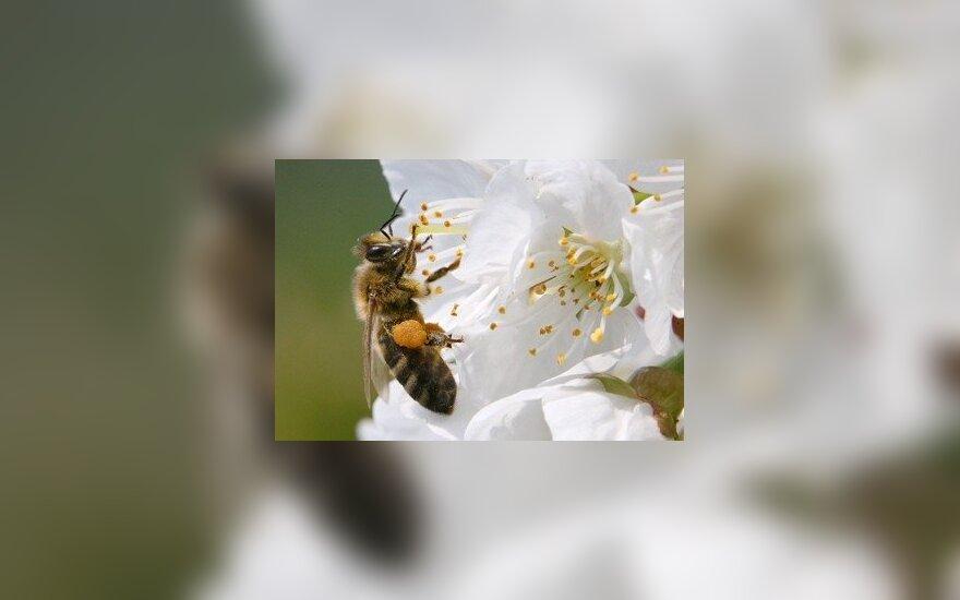 Slovėnijos soduose iš vyšnių žiedų bitės renka nektarą.