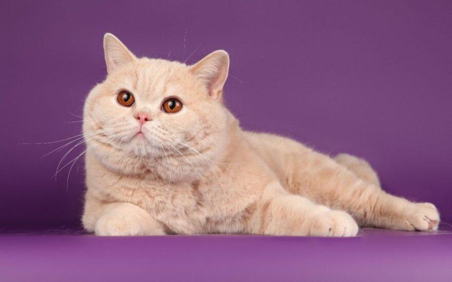 Britų trumpaplaukė katė