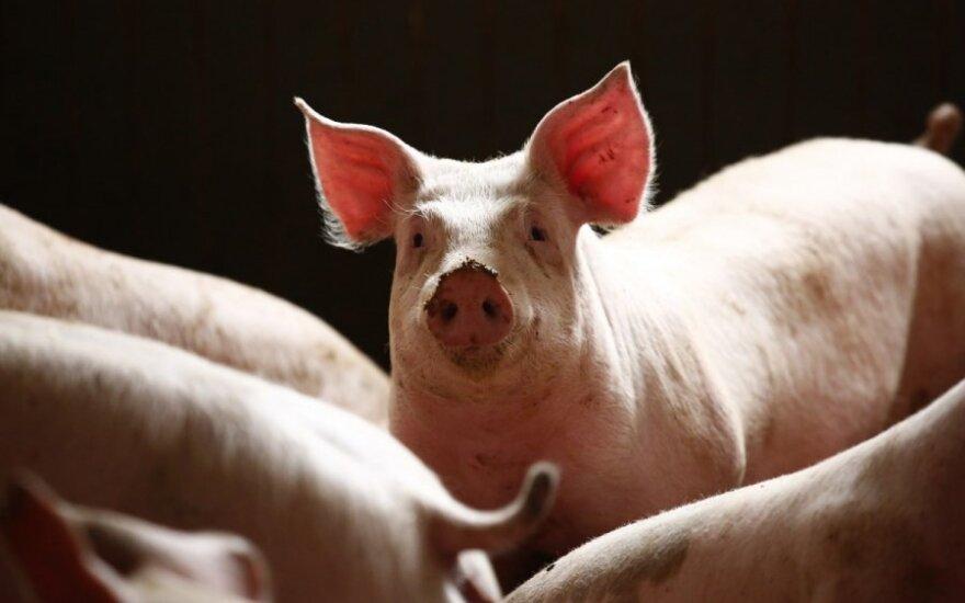 Afrikiniu kiaulių maru jau užsikrėtė ir kiaulės