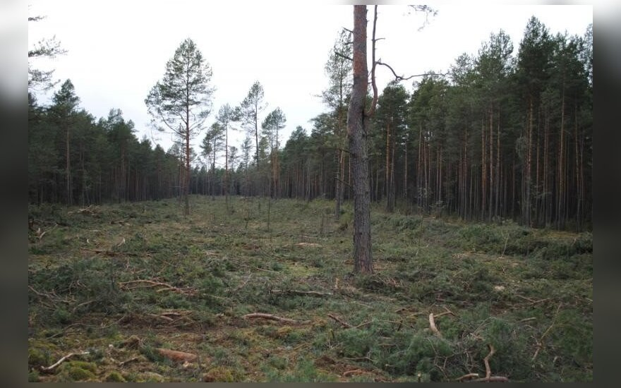 3 hektarai iškirsto miško Kuršių nerijoje