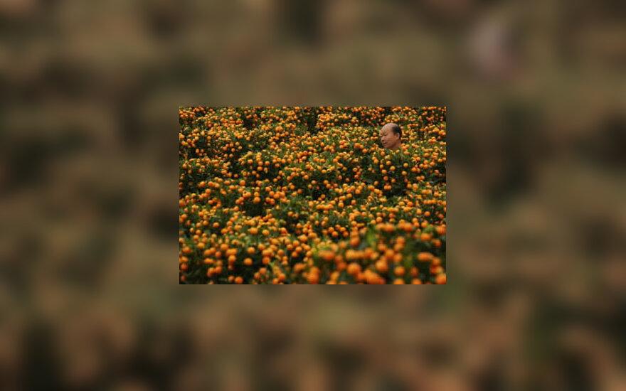 Žmogus vaikščioja po mandarinmedžių lauką. Honkongas.