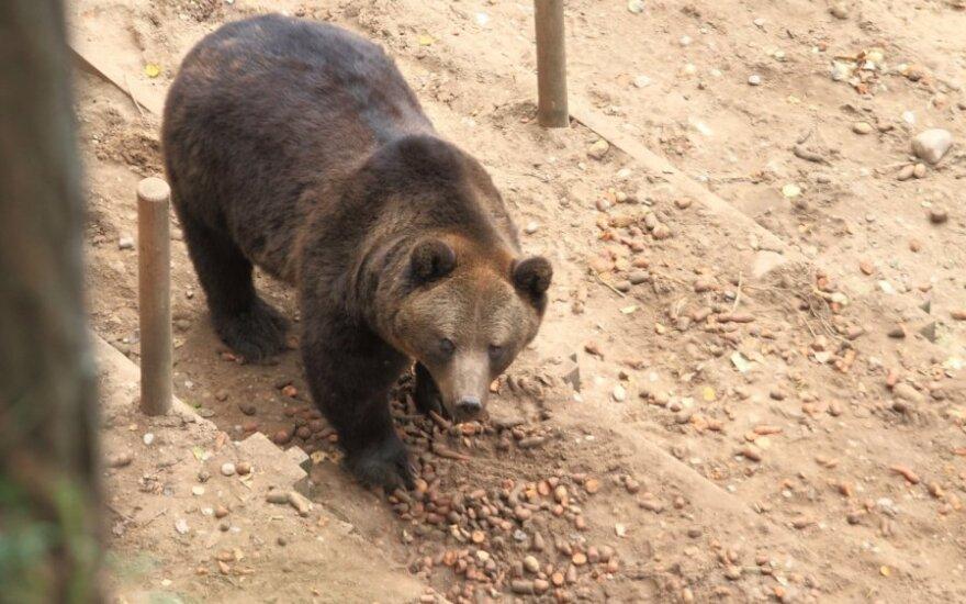 Сбежавшую медведицу пришлось застрелить