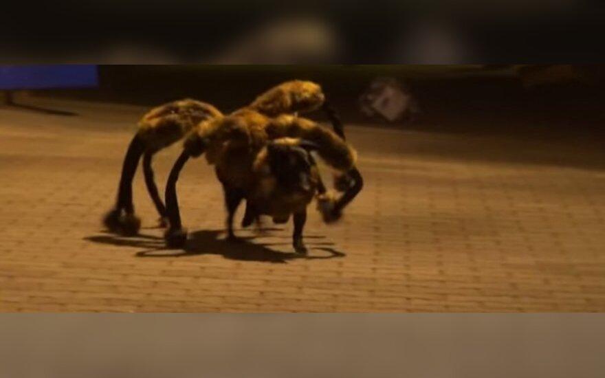 Pies - pająk