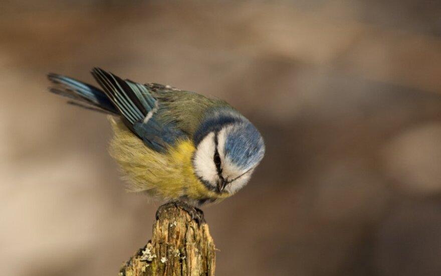 Mėlynoji zylė ryte papučia plunksneles  – saugo šilumą