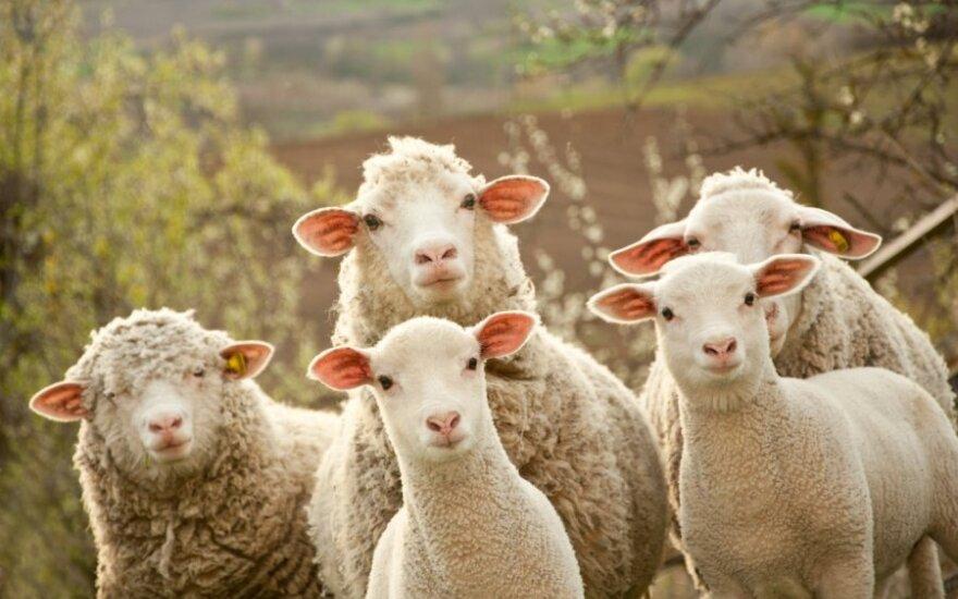 Болгарским овцам запретили въезд в Россию