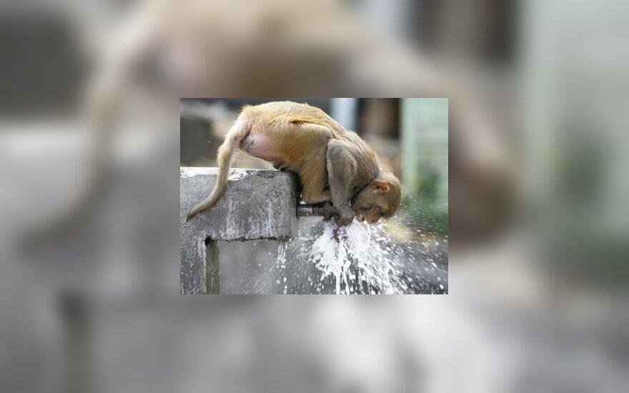 Beždžionėlė geria