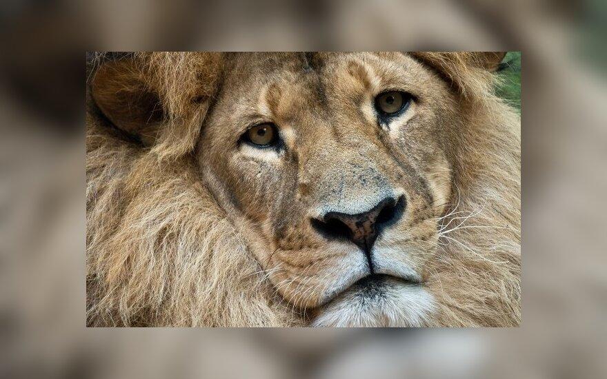 25 – iose Afrikos valstybėse liūtai jau išnyko, dešimtyje kitų valstybių žvėrių karaliai yra ant išnykimo ribos