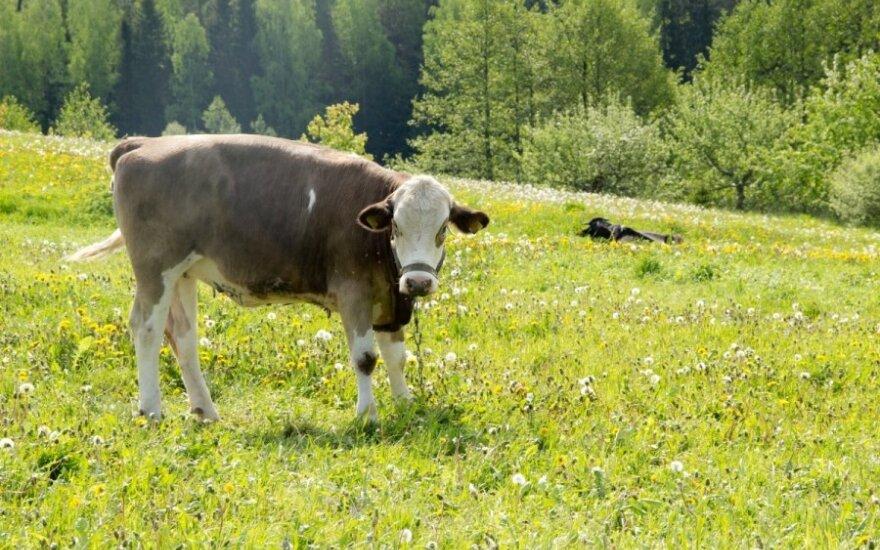 Karvė ganosi pievoje