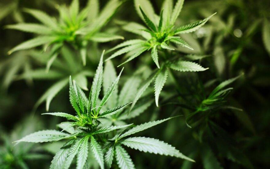 USA: W Kolorado zalegalizowano marihuanę