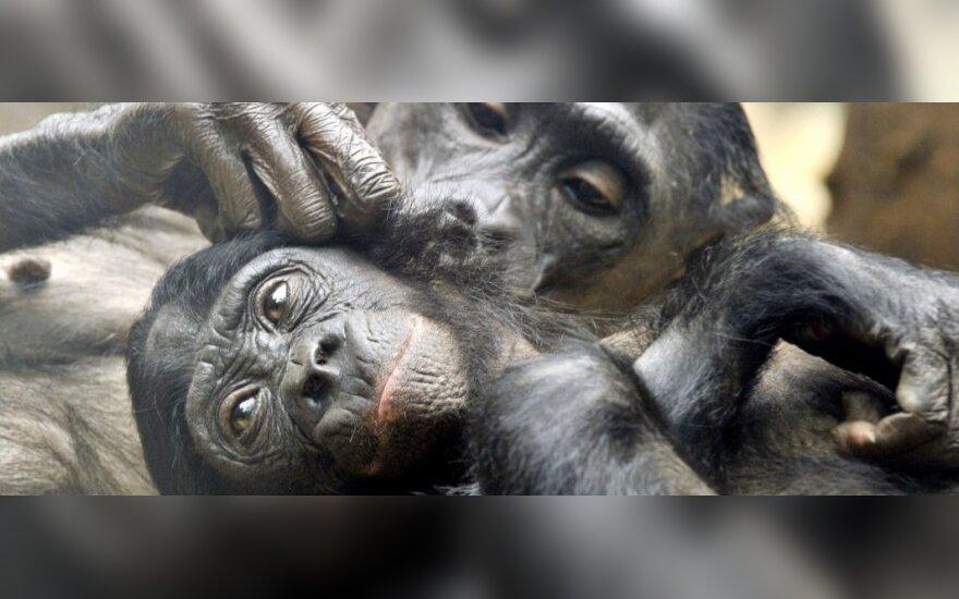 Mažosios šimpanzės nestokoja viena kitai švelnumo
