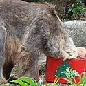Lokys ėda savo Kalėdų dovaną