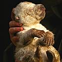 Poliarinio lokio jauniklis