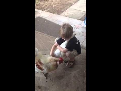 Virš mielumo ribų: apkabinimo prašantis viščiukas