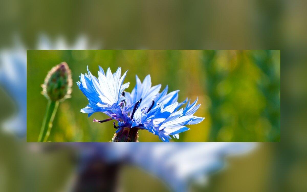 į varpą panašus augalas)